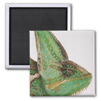 Portrait of boldly colored Yemen chameleon Magnet