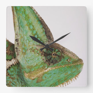 Portrait of boldly colored Yemen chameleon Square Wall Clock