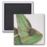 Portrait of boldly coloured Yemen chameleon Magnet