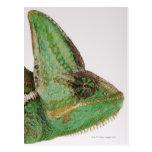 Portrait of boldly coloured Yemen chameleon Postcard