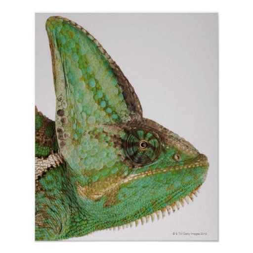 Portrait of boldly coloured Yemen chameleon Poster