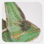 Portrait of boldly coloured Yemen chameleon Square Sticker