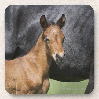 portrait of brown foal drink coaster