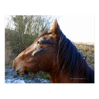 Portrait of brown horse on cold day staring into postcards