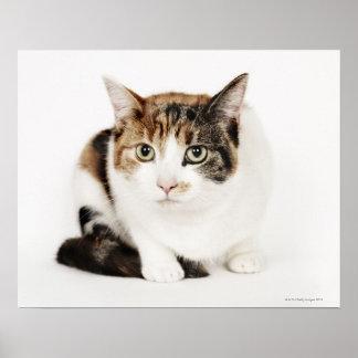 Portrait of Calico cat Poster