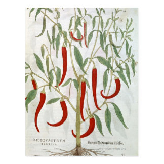 Portrait of cayenne pepper plant postcard