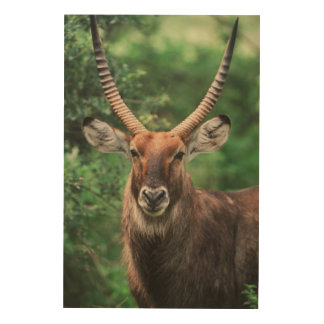 Portrait of Common Waterbuck Wood Print