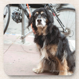 Portrait of dog waiting expectantly for owner; beverage coasters