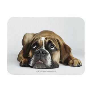 Portrait of Dorset Old Tyme Bulldog Rectangular Magnets