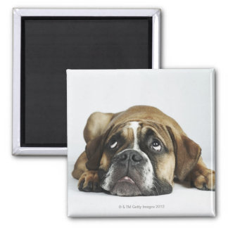 Portrait of Dorset Old Tyme Bulldog Square Magnet