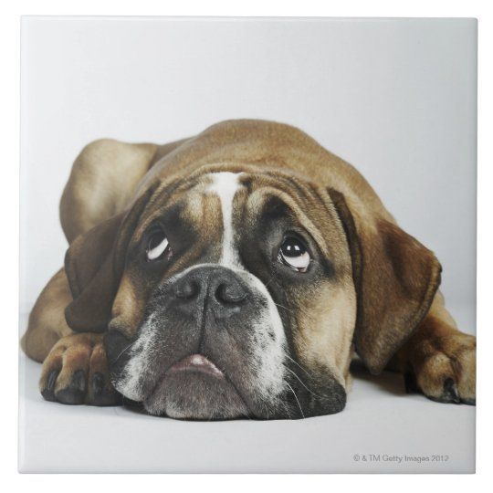 Portrait of Dorset Old Tyme Bulldog Tile