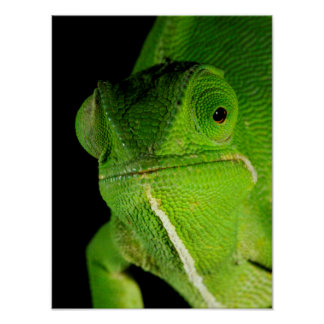 Portrait Of Flap-Necked Chameleon Poster