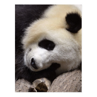 Portrait of giant panda postcard