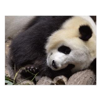 Portrait of giant panda postcards