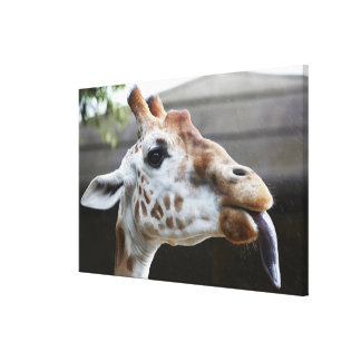Portrait of Giraffe (Giraffa camelopardalis) Canvas Print
