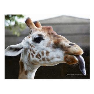 Portrait of Giraffe (Giraffa camelopardalis) Postcards
