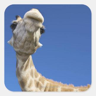 Portrait of Giraffe (Giraffa Camelopardalis) Square Sticker