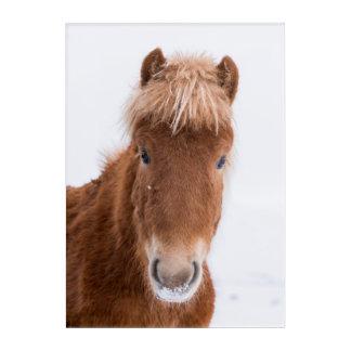 Portrait of Icelandic Horse Acrylic Wall Art