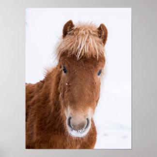 Portrait of Icelandic Horse Poster