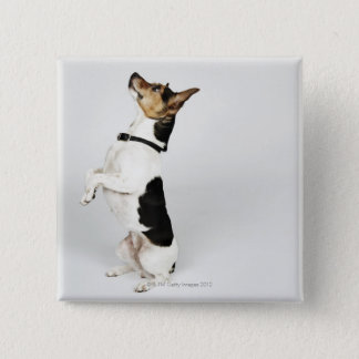 Portrait of Jack Russell dog sitting up on his 15 Cm Square Badge