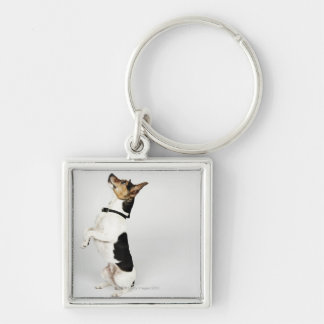 Portrait of Jack Russell dog sitting up on his Key Ring