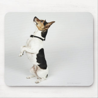 Portrait of Jack Russell dog sitting up on his Mouse Mat