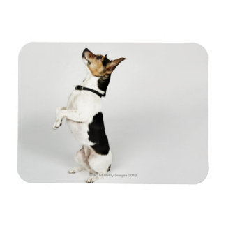 Portrait of Jack Russell dog sitting up on his Rectangular Photo Magnet