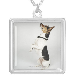 Portrait of Jack Russell dog sitting up on his Silver Plated Necklace