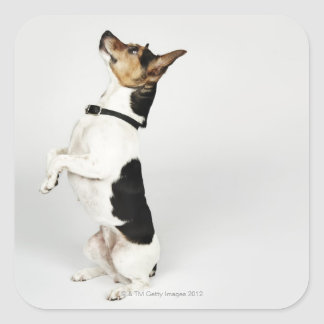 Portrait of Jack Russell dog sitting up on his Square Sticker
