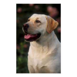 Portrait Of Labrador Retriever, Hilton Poster