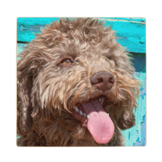 Portrait Of Lagotto Romagnolo In Front Of Blue Wood Coaster