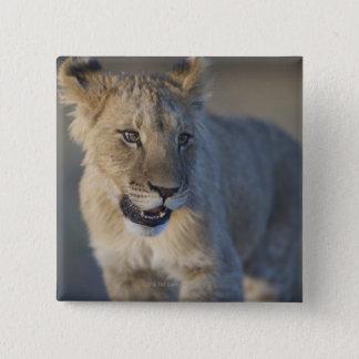Portrait of Lion Cub (Panthera Leo), Namibia 15 Cm Square Badge