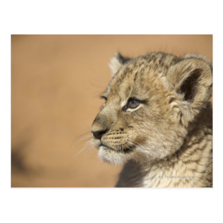 Portrait of Lion cub (Panthera Leo), Namibia Postcard