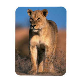 Portrait Of Lioness (Panthera Leo) Magnet