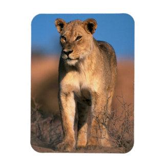 Portrait Of Lioness (Panthera Leo) Vinyl Magnets