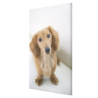 Portrait of Miniature Dachshund sitting, high Canvas Print