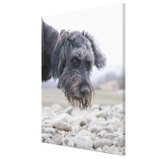 Portrait of mix breed dog, leaning over pebbles. canvas print