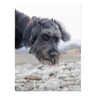 Portrait of mix breed dog, leaning over pebbles. post cards