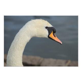 Portrait of Mute Swan Photo Print