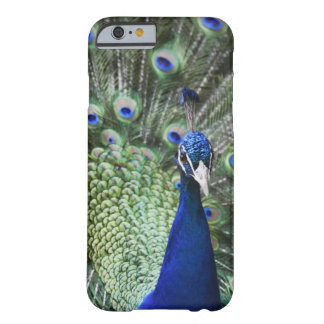 Portrait Of  Peacock With Feathers Out Barely There iPhone 6 Case