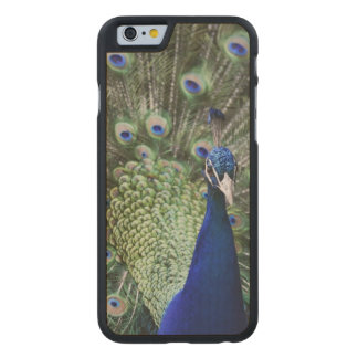 Portrait Of  Peacock With Feathers Out Carved® Maple iPhone 6 Slim Case