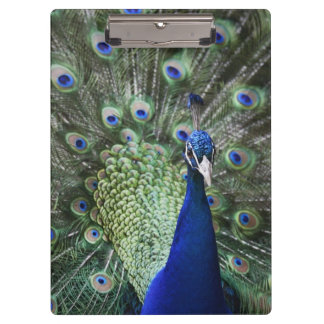 Portrait Of  Peacock With Feathers Out Clipboard
