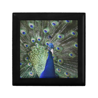 Portrait Of  Peacock With Feathers Out Gift Box