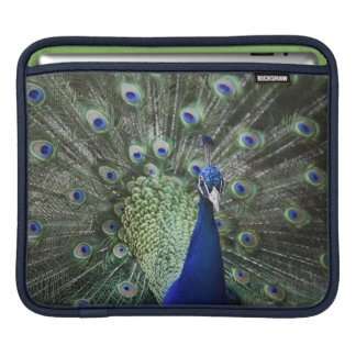 Portrait Of  Peacock With Feathers Out iPad Sleeve