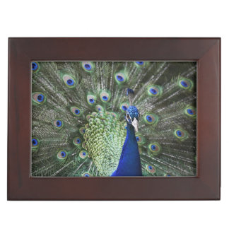Portrait Of  Peacock With Feathers Out Keepsake Box