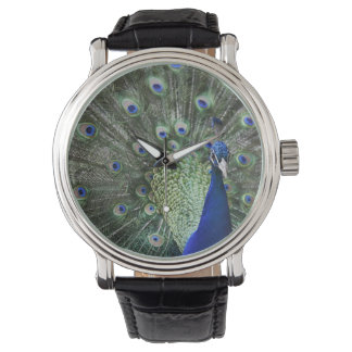 Portrait Of  Peacock With Feathers Out Watch