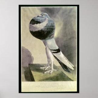 Portrait of Pouter Pigeon Poster