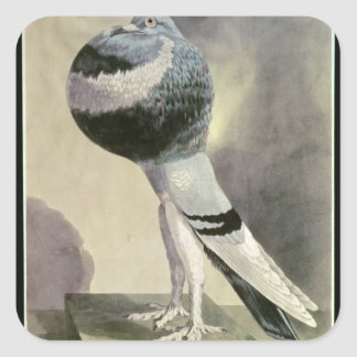 Portrait of Pouter Pigeon Square Sticker