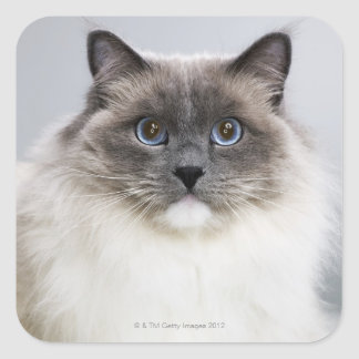 Portrait of Ragdoll cat Square Sticker