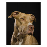Portrait of red nose pitbull with black